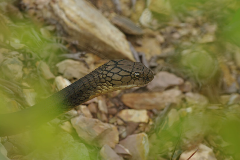 king cobra, Keo Seima Protection Forest,  2011Cambodia