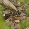 king cobra, Keo Seima Protection Forest,  2011Cambodia