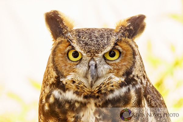 """Tuesday,"" a Great-Horned Owl.  Disney's Animal Kingdom."
