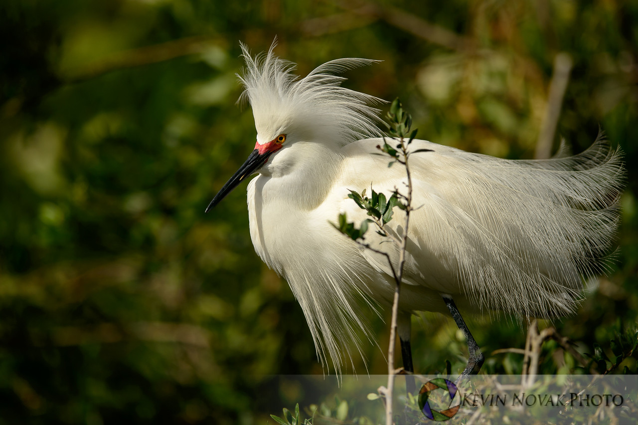 Snowy Egret with a bad hair day.   St. Augustine Alligator Farm and Rookery.  ©2015 Kevin Novak.