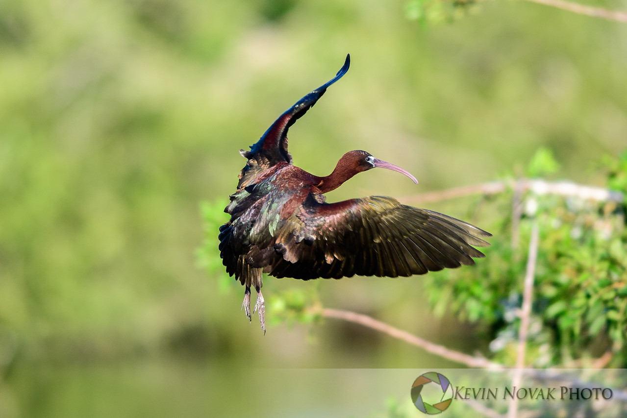 Glossy Ibis on final.