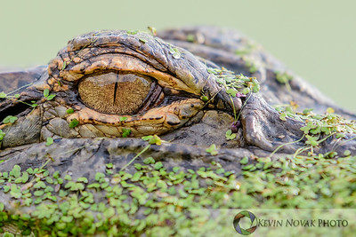 They eye of the gator.  American Alligator, St. Andrews State Park.