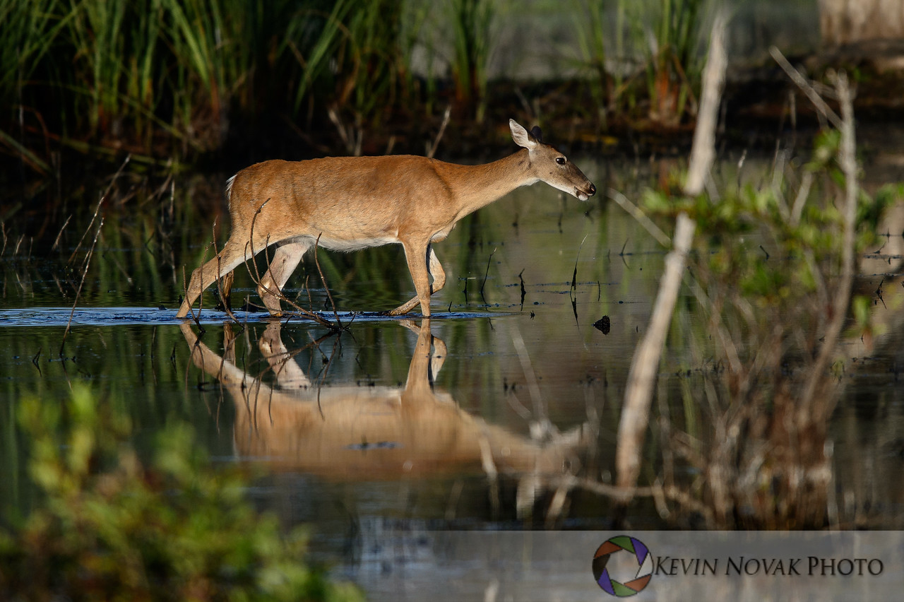 Whitetail doe wading through the marsh at St. Andrews State Park.