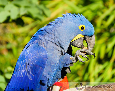 Macaw grooming.  Disney's Animal Kingdom.