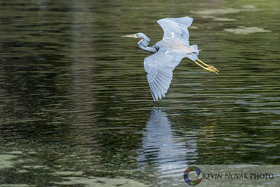 Tri-colored Heron.  Sweetwater Wetlands Park, Gainesville, FL.