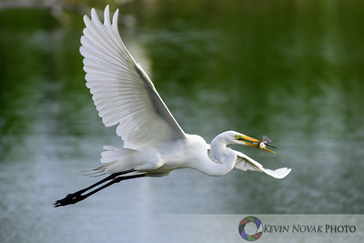 Great Egret gliding away with breakfast.  Venice Rookery.