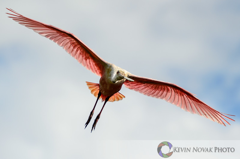 Roseate Spoonbill.   St. Augustine Alligator Farm and Rookery.  ©2015 Kevin Novak.