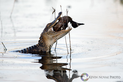 April 5, 2015, Panama City Beach, FL.  Chomp, chomp.  Gator with Blue Winged Teal breakfast.   St. Andrews State Park ©2015 Kevin Novak.