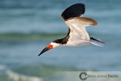 Black Skimmer in the morning light, Bay County, FL.