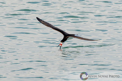 Black Skimmer skimming, Bay County, FL.