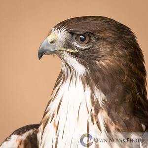 """Jake,"" a red-tailed hawk being rehabilitated at the Alaska Raptor Center in Ketchikan."
