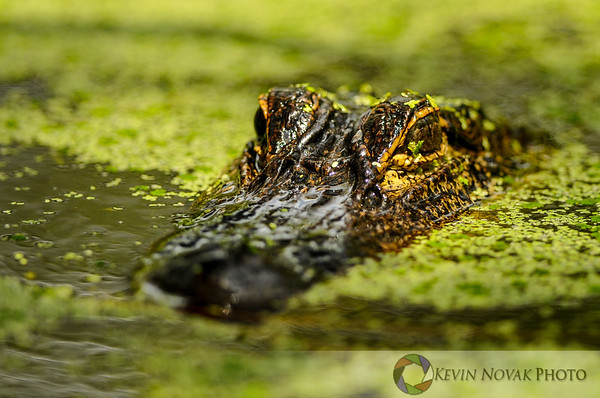 This is why they call it Gator Lake, St. Andrews State Park, Panama City Beach, FL.  ©2013 Kevin Novak.