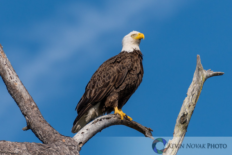 Male Bald Eagle keeping a close watch on his nest.