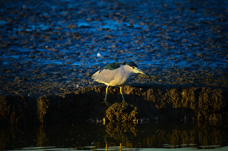 Evening Night Heron
