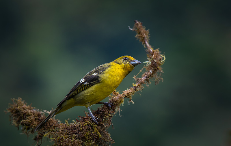 Curious Tanager