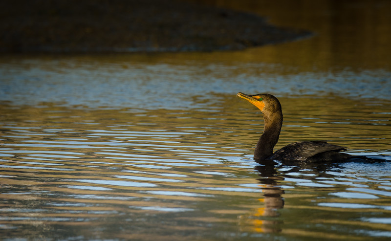 Double Crested Cormorant Swimming