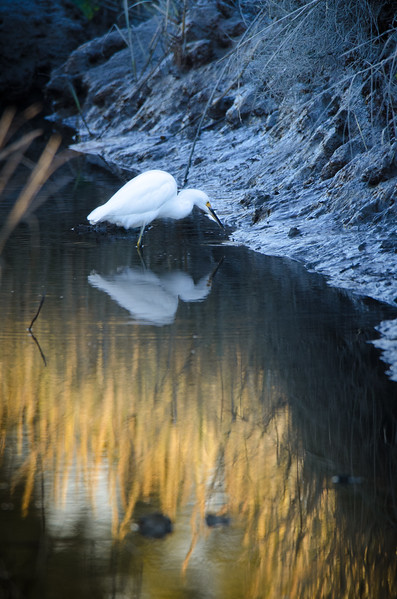 Snowy Egret in Golden Creek