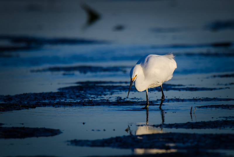 Snowy Egret in the Mud Flats