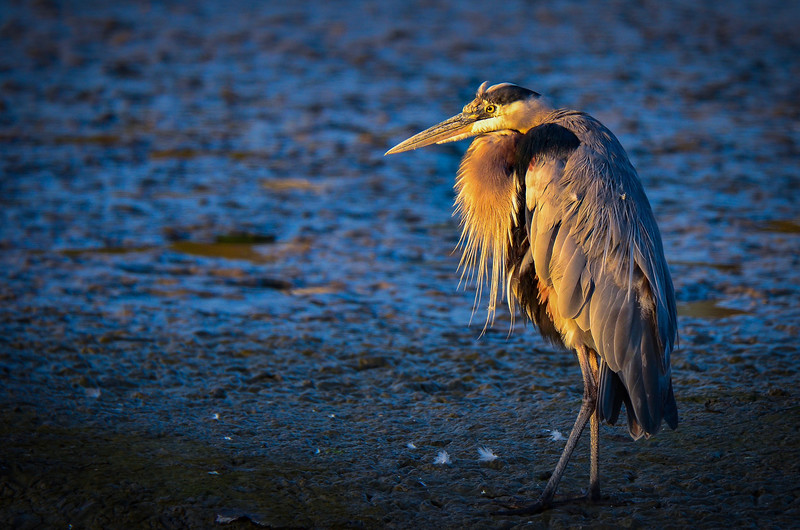 Great Blue Heron on a Mud Flat