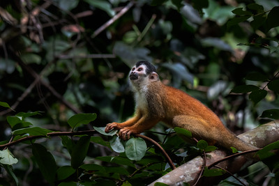 Squirrel Monkey Gaze