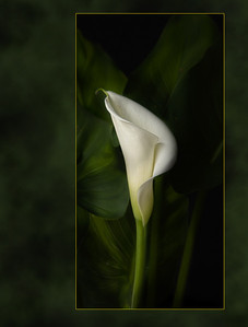 lone lilly