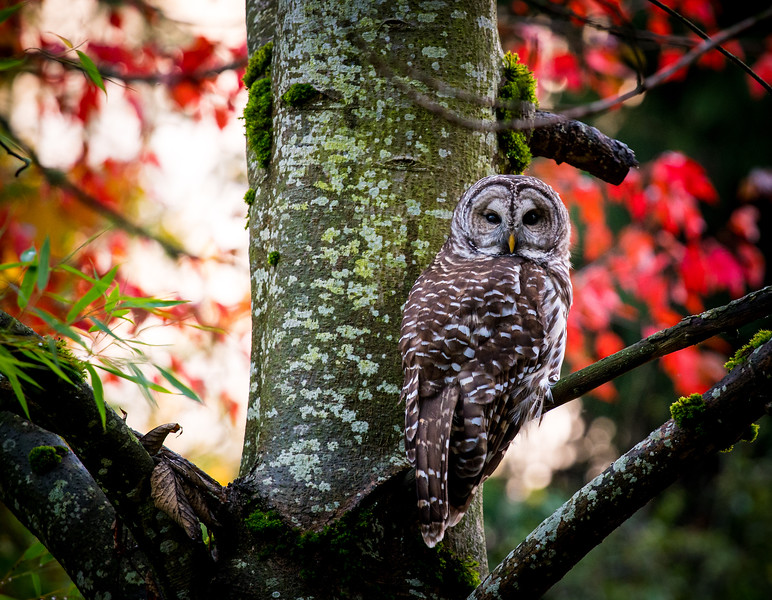autumn-barred-owl