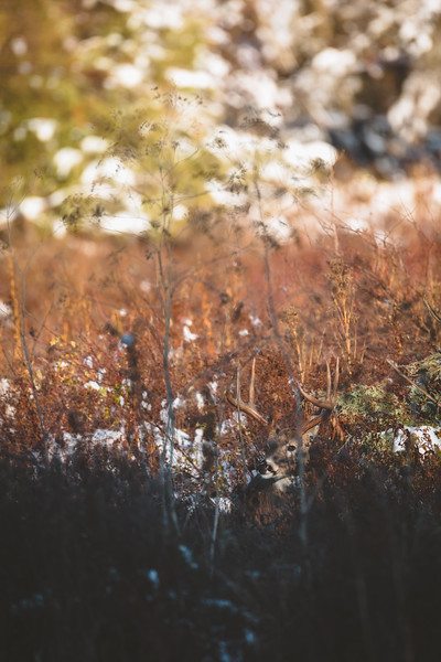 Montana Whitetail, November 2017