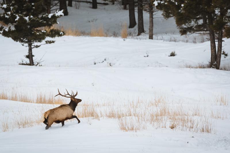 Montana bull elk during winter