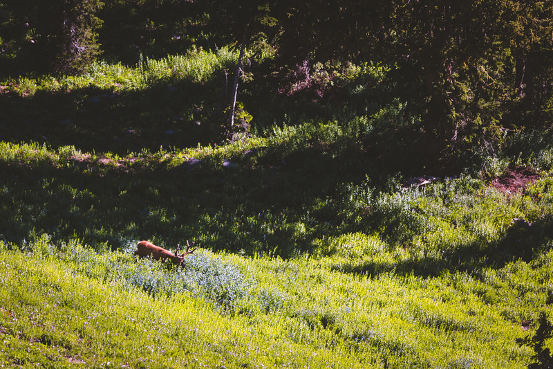 A Wyoming buck  feeds in the open above his bed.