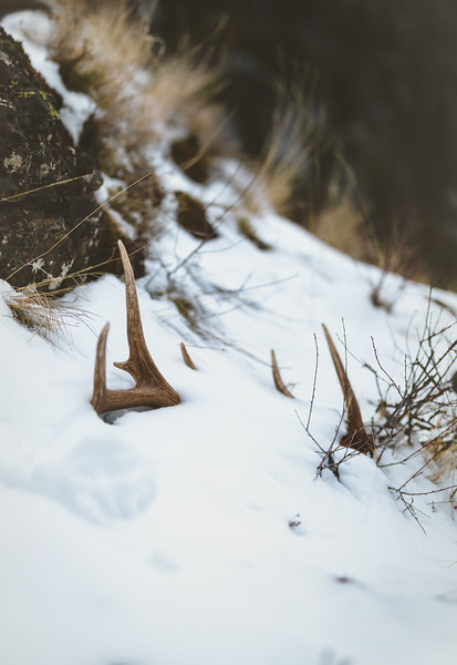 Fresh elk antler, public land, Washington State. 4/3/18