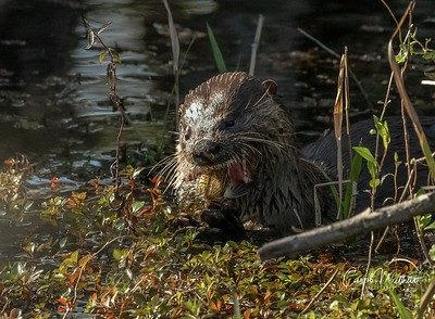 otter on wood duck pond with fish dinner-1579667140843