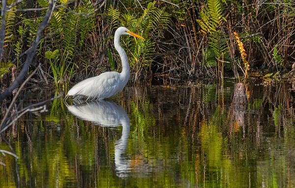 Egret walk