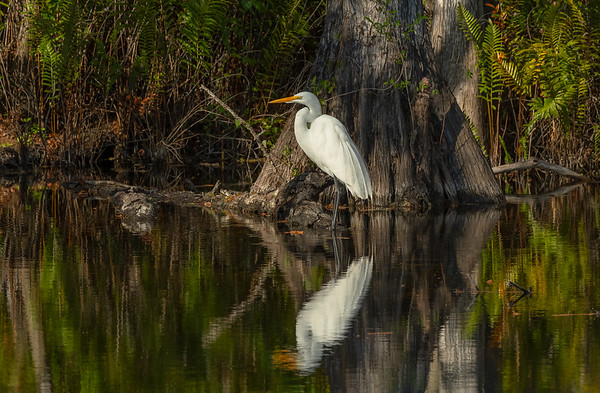 Solitude of the Great egret