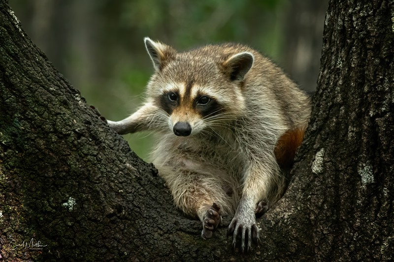 alert Raccoon