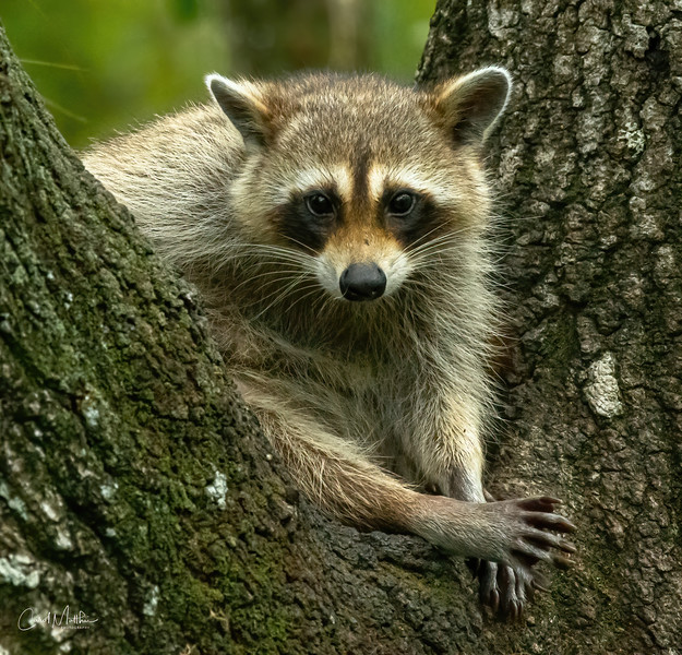 Relaxed Raccoon-3