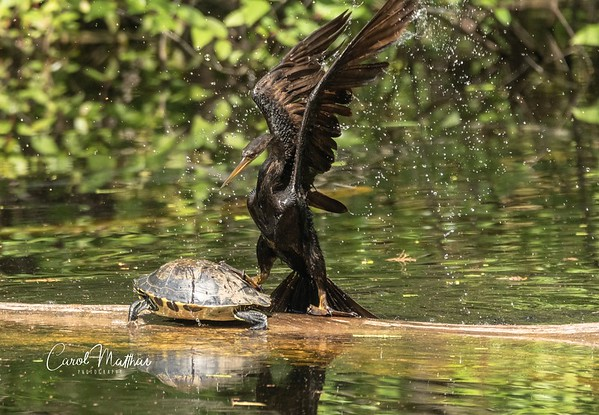 The Anhinga and the cooter turned slider turtle-3-1553921130414