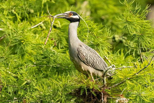 Yellow-crowned Night heron nest buidling-8