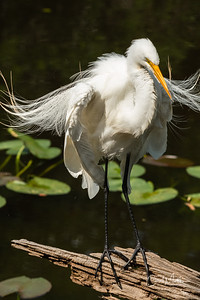 Egret of Pop Ash Pond with blowing feathers