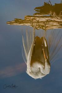 Egret of Pop Ash Pond reflection-2