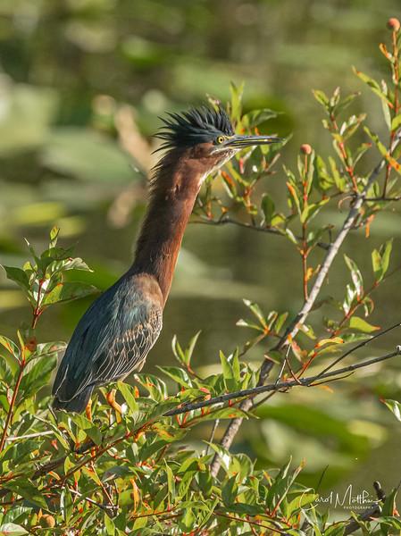 Green Heron dropping in-6