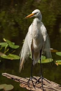 Egret of Pop Ash Pond on turtle log
