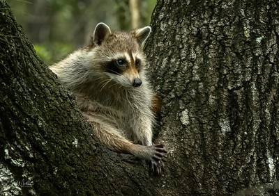 Relaxed Raccoon-5