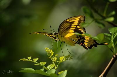 swallow tail eye to eye on a branch-2