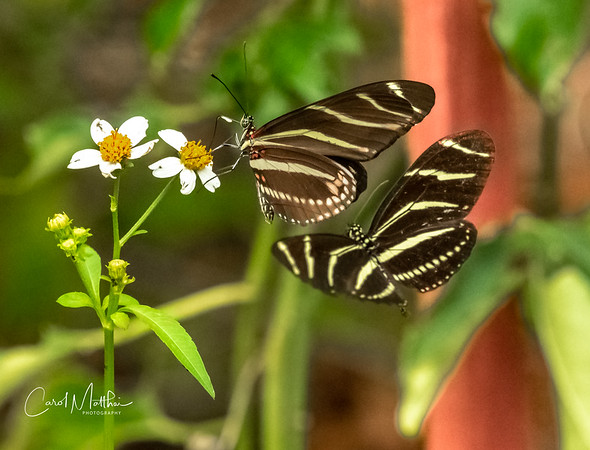 Zebra longwing butterfly pair