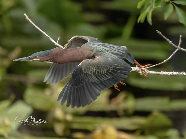 Green Heron in a hurry-2-1553921156337