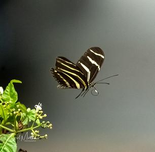 Zebra longwing butterfly in flight   FL state butterfly