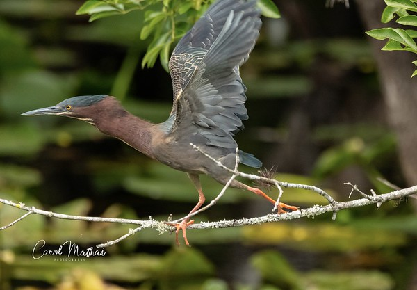 Green Heron in a hurry-1553921158293