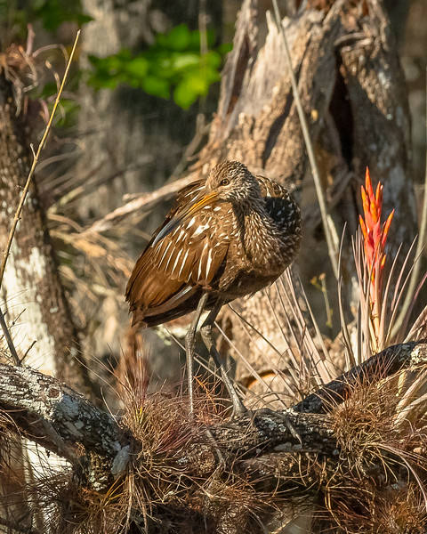 Limpkin posed with blooming airplant