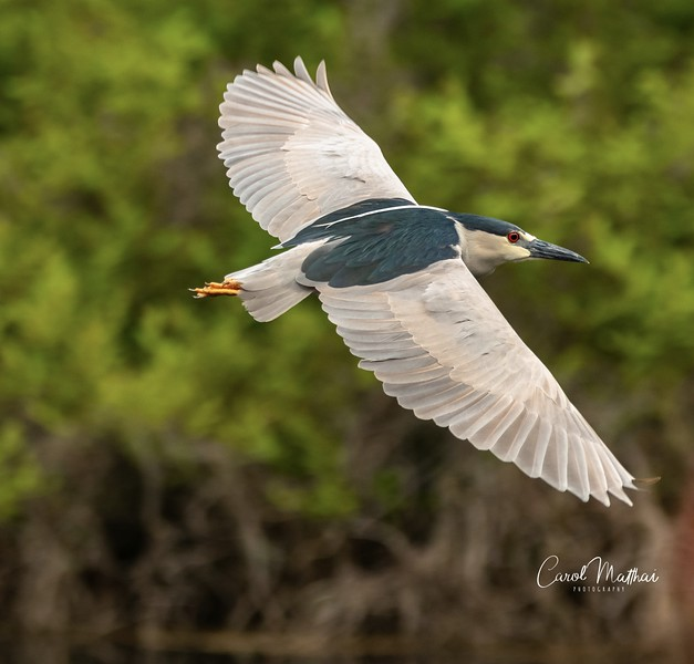 Black Crowned Night Heron in flight-1553921168602
