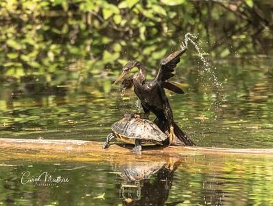 The Anhinga and the cooter turned slider turtle-2-1553921132607